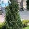 На Крещатике начали высаживать деревья